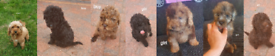 3 outstanding f1b cockapoo puppy for sale.