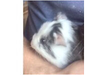 Baby guinea pig for sale