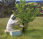 bee swarm - free removal West Ryde Ryde Area Preview