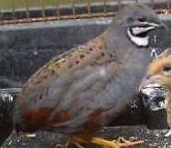 Male Quails Aberdare Cessnock Area Preview