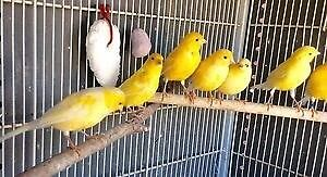 Canaries 2 for $30 Shepparton Shepparton City Preview