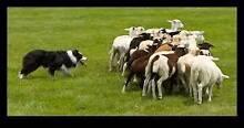 Sheep Dog Training School Royalla Queanbeyan Area Preview