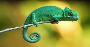 Looking for friendly lizard for a pet