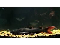 Asian Red Tail Catfish for sale live tropical fish