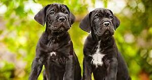 Majestic Boxer\Italian Mastiff puppies is now taking deposits