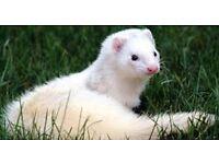 super tame ferret loves kids £60