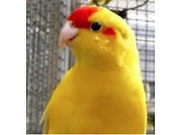 Kakariki Parrots for Sale!!!