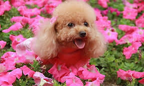 In your home Pet Grooming Services(\_/)for all dog breeds & cats