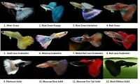 looking for different breeds of guppies