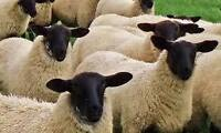 Suffolk Ram and Ewes