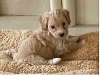 Maltipoo puppies available boys and girls available
