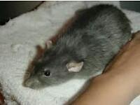 Male grey rat
