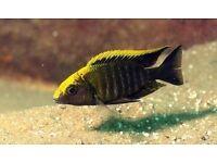 Malawi Cichlids - Haps and Peacocks - Aulonocara & Haplochromis