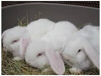 baby lion lop dwarf rabbits extremely tame and friendly, hutch, cage, delivery