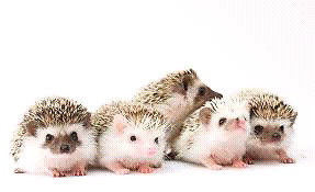 Looking for a Hedgehog to give a forever home to :)
