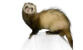 For all your FERRET needs: see us!