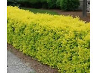 Golden Privet Hedging Plants