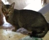 TICA Registered Male Chausie (Jungle Cat Hybrid) for Sale