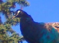 looking for a peahen