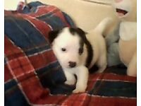 4Jack Russell Cross West Highland Terrier Puppies
