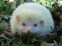 Baby HEDGEHOGS 'FOR SALE' - ONLY $135.00 ea.