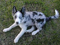 Looking for Blue merle border collie