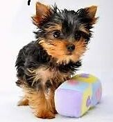 Baby face Adorable Yorkie puppies ree Adoption