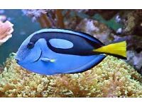 "large Regal Tang 5"" healthy and feeding well only £30"