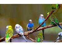 Buckley's Bird's Club