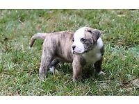 Puppies american bulldog
