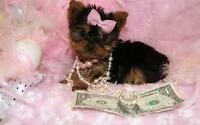 XXX tiny TEACUP Yorkshire/yorkie  (MICRO) ready VALENTINES DAY