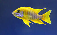 African cichlids and peacock for sale