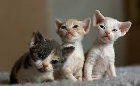 devon rex kitten Bedford Bayswater Area Preview