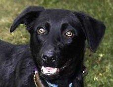 """Young Female Dog - Labrador Retriever: """"Brea (Mexico)"""""""
