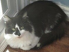 "Adult Male Cat - Domestic Long Hair: ""Ricky"""