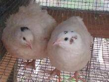 WANTED: UNWANTED JAPANESE QUAILS!!!!!!! Rochedale South Brisbane South East Preview
