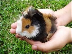 Looking for long haired Guinea pig babies