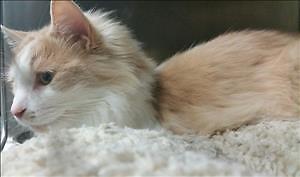 "Adult Male Cat - Domestic Long Hair: ""Gustav"""