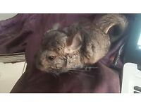 Social male standerd grey chinchilla