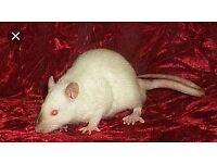 Male rat and igloo