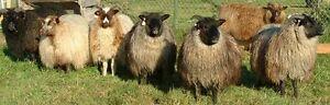 Livestock for homestead Windsor Region Ontario image 3