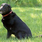 "Adult Female Dog - Labrador Retriever: ""Daisy"""