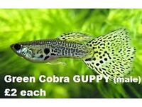 Green cobra male Guppies £2
