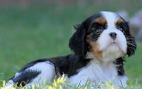 WANTED : King Charles Cavalier puppies - 2 X TRICOLOUR FEMALE