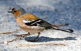 Chaffinch finches for sale Narellan Camden Area Preview