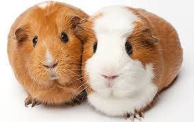 Six Colourful Guinea Pigs Elizabeth East Playford Area Preview