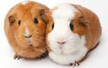 Large Selection of Guinea Pigs Elizabeth East Playford Area Preview