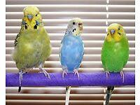 FREE BIRDS-BERTIE & BARRY & BRIAN THE BUDGIE