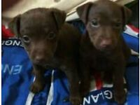 Patterdale puppies for sale two girls