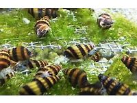 Assassin snail's